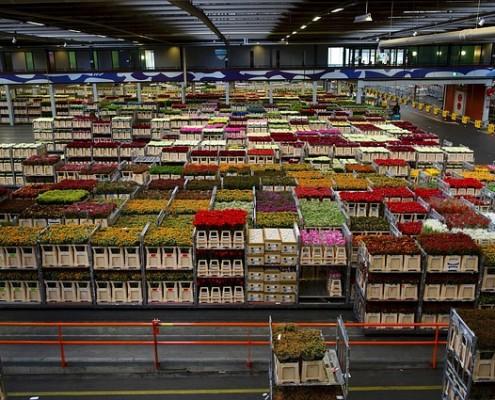 holland-flowers-business-warehouse-varieties